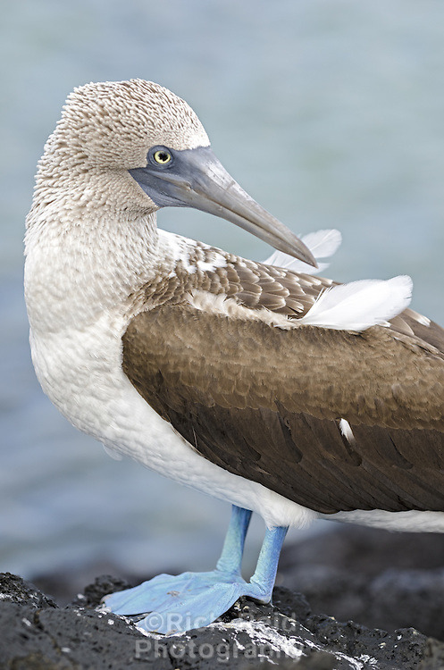 Portrait of Blue-footed booby, Sula nebouxii excisa on Cerro Dragon on Santa Cruz Island in the Galapagos National Park and Marine Reserve, Ecuador.