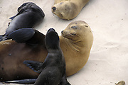 California Sea Lion <br /> Zalophus californianus<br /> A young pup, less than 2-3 days old,  tries to climb up onto its mother<br /> San Miguel Island, Channel Islands NP, California