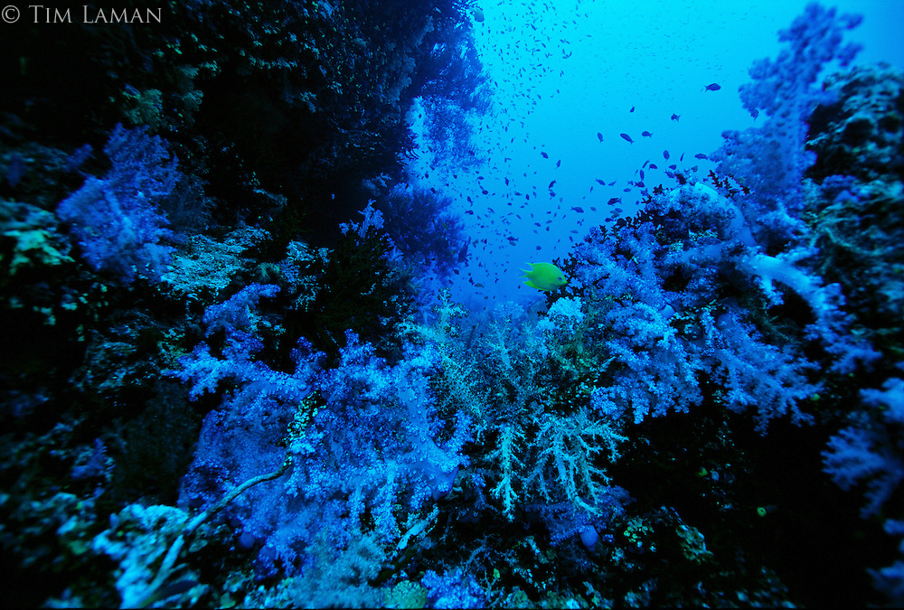A golden damselfish swims among blue and yellow looking soft corals.  Red wavelengths are absorbed and are not able to penetrate 80 ft below the surface.