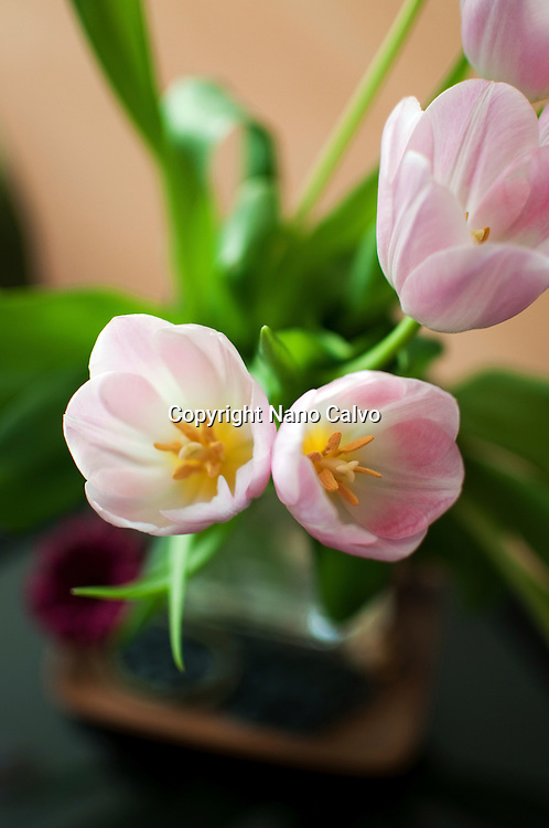 Beautiful pink tulips at home