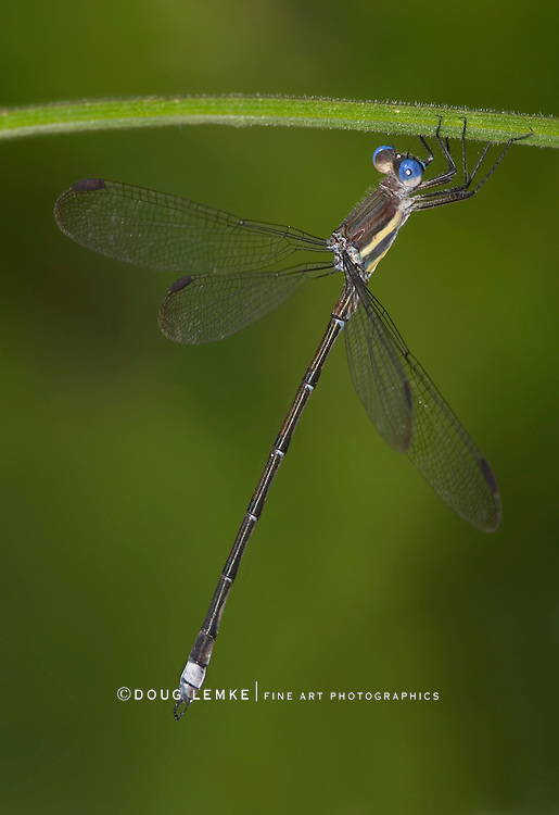 Damselfly, Great Spreadwing Archilestes grandis, Dangling From A Stem