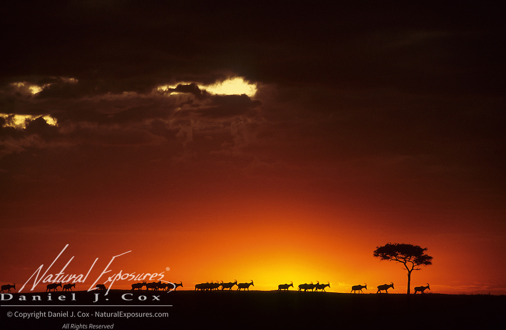 Topi silhouetted against a horizon and sunrise. Masai Mara National Reserve, Kenya, Africa