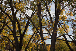 cottonwood trees changing color in Autumn