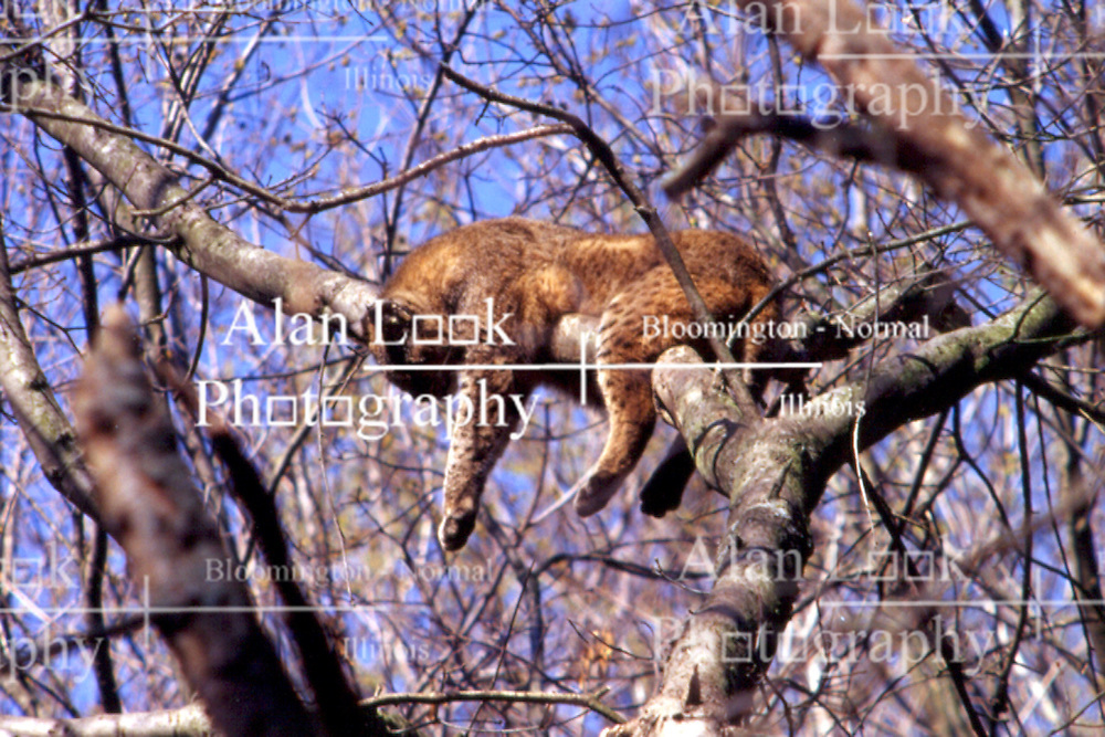 Bobcat, Wildlife Prairie Park - Peoria, IL Note: This image was originally produced on film and scanned to produce a digital file.  Some dust may be visible from that scan (Photo by Alan Look)