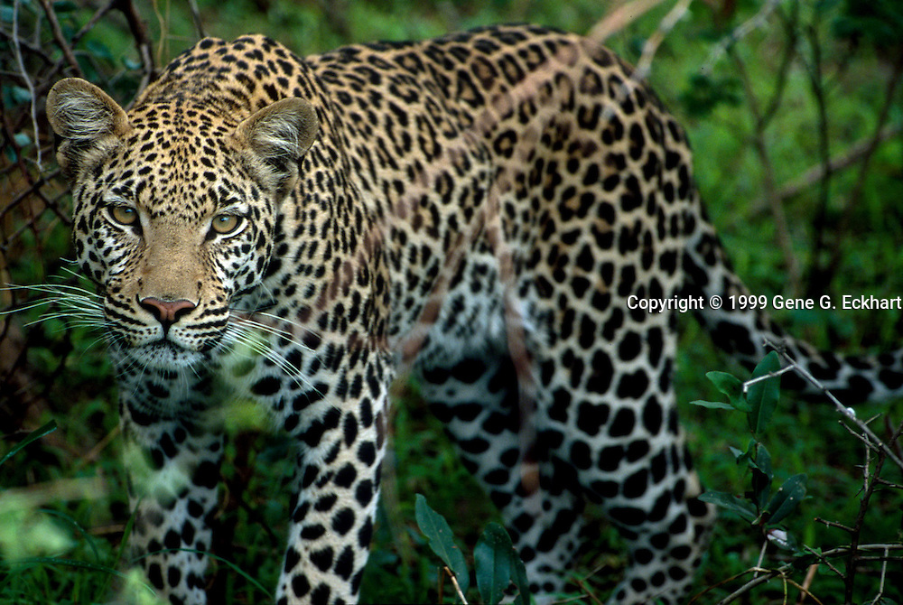 Leopard (Panthera pardus)  -  Mombo - Okavango Delta - Botswana <br /> <br /> The leopard (Panthera pardus) is a member of the Felidae family and the smallest of the four &quot;big cats&quot; (lion, leopard, tiger and jaguar) that belong to the genus Panthera. Leopards were distributed at one time across southern Asia and Africa. The leopard's range has decreased radically over time due primarily to hunting and loss of habitat. Leopard are now primarily found in sub-Saharan Africa. Leopards resemble the jaguar, but they are usually smaller and of a slighter build. Their fur is marked with rosettes which lack internal spots, unlike those of the jaguar. Their success in the wild is largely due to their opportunistic hunting behavior, and their ability to adapt to a variety of habitats. Leopards are extremely elusive and their preferred habitat ranges from rainforest to savannahs to desert terrains.
