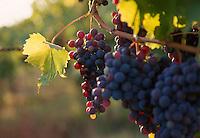 Sangiovese grapes, Tuscany, Italy