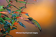 01162-089.15 Ruby-throated Hummingbird (Archilochus colubris) male on Cigar Plant (Cuphea ignea) Shelby Co.  IL