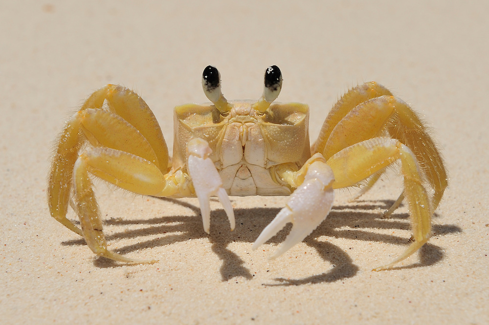 Crab,Beach at Bahia de loas Aguilas near Cabo Rojo,Dominican Republic, Caribbean..