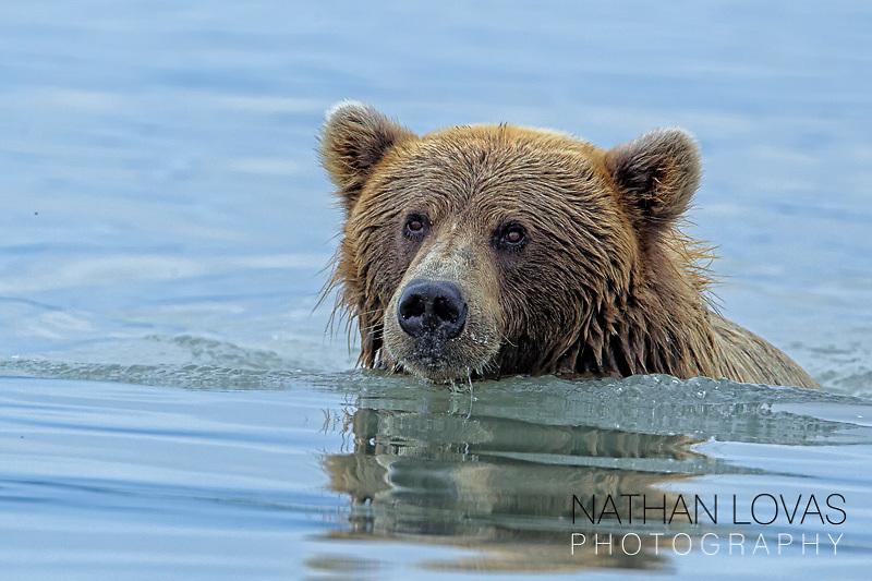 Brown bear sitting in water after eating salmon; Lake Clark, Alaska .