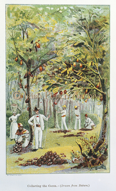 Collecting Cocoa, Venezuela.  From 'Cocoa: All About It' by 'Historicus'. (London, 1892). Chromolithograph.