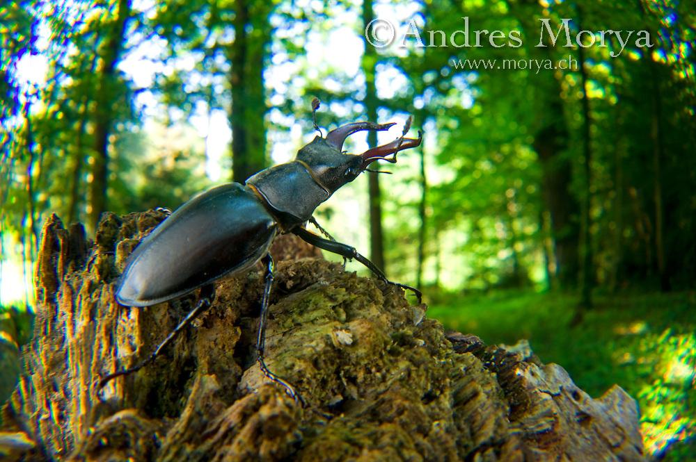 Stag beetle (Lucanus cervus), Switzerland Image by Andres Morya