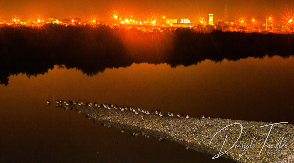 Dotterels roosting at night under the glow of western motorway lights. Pollen Island.