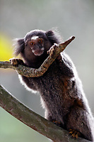 mico sagui Black-tufted Marmoset Callithrix penicillata, also known as the Black-pencilled Marmoset in ilha grande brazil