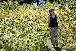 © Licensed to London News Pictures. 23/08/2016. Wisley, UK.  Karen from RHS Wisley walks amongst the Sunflowers in the afternoon sunshine at RHS Wisley. Photo credit: Peter Macdiarmid/LNP