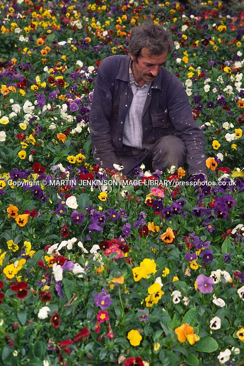 Council Parks Dept Nurseryman at work in a flower bed ......