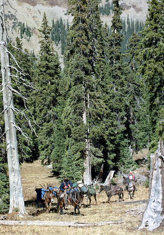 A successful pack train on the way back to base camp on a guided big game hunt in the Colorado Rocky Mountain wilderness