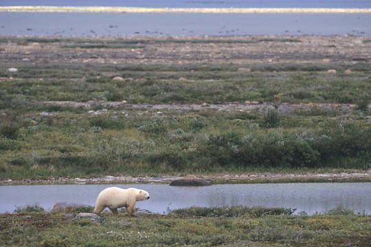 Polar Bear, (Ursus maritimus) Late fall. Churchill, Manitoba. Canada.