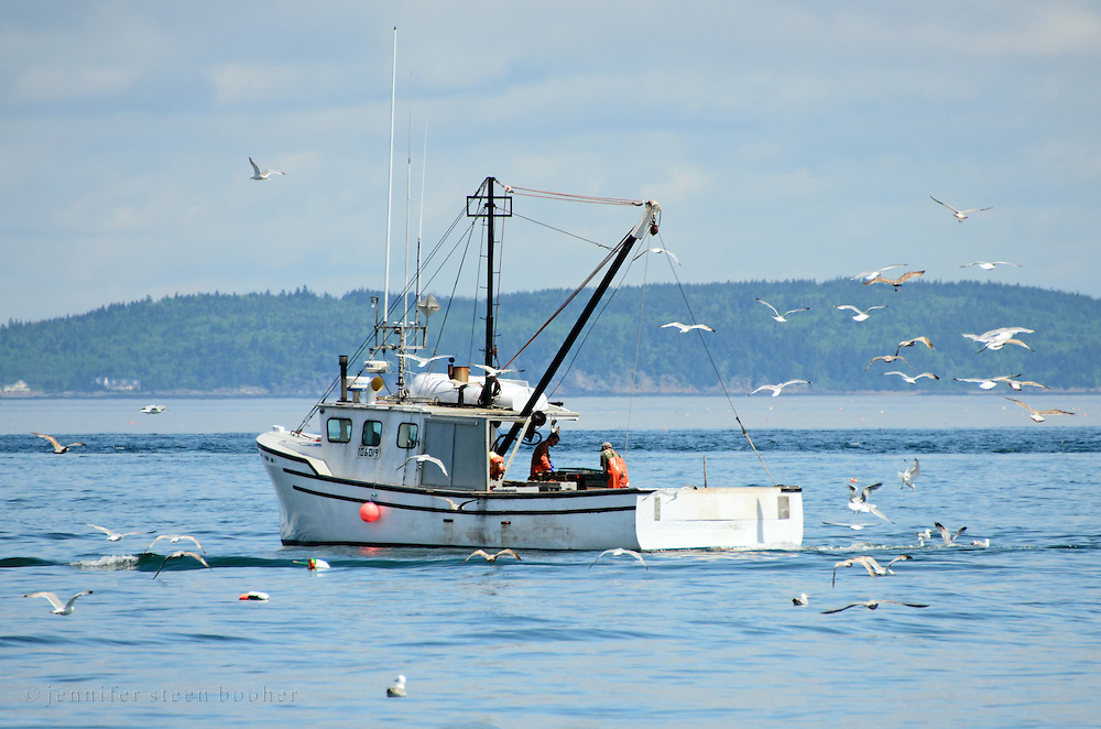 Two lobstermen haul traps on a beautiful spring day as a flock of seagulls circle, hoping for leftovers.