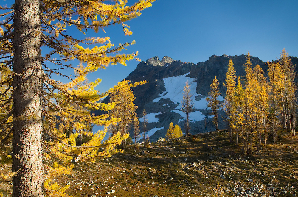 Subalpine Larch (Larix lyallii) and Corteo Peak, North Cascades Washington
