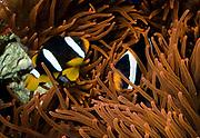 Pair of Clark's Anemonefish, Amphiprion clarkii, in the host-sea anemone Entacmaea quadricolor.