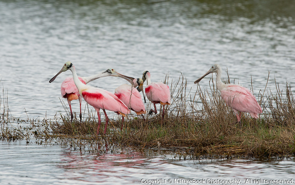A gathering of Roseate Spoonbills at Merritt Island National Wildlife Refuge in Florida, adjacent to the Kennedy Space Center.  Note that one of the adults is not happy with the behavior of a juvenile bird.