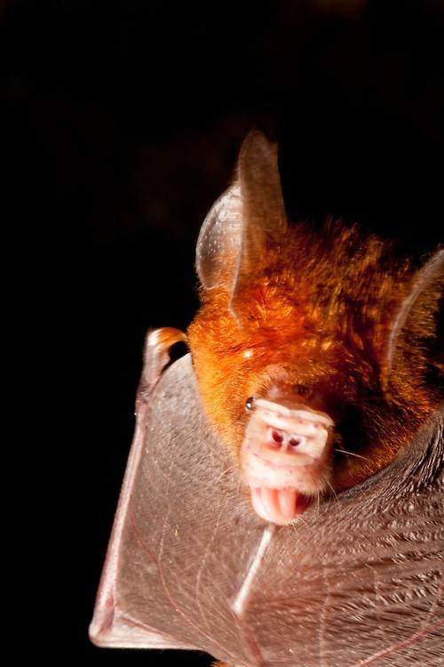 A bat licks it's wing on Tetapare, Solomon Islands
