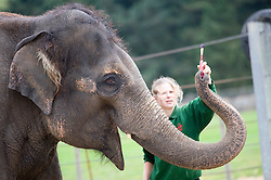 © Licensed to London News Pictures. 20/09/2011. Dunstable, UK. Elephant keeper ELIZABETH BECKER helps Karishma to hold a brush. KARISHMA the 13-year-old female elephant who has taken to painting in her spare time at Whipsnade Zoo, in Dunstable, Bedfordshire. Photo credit: Ben Cawthra/LNP