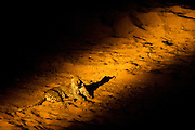 African leopard female (Panthera pardu) resting in riverbed at night. Spotlight from jeep was used to photograph her