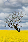 Tree without leaves in middle of a field of canola against storm clouds near Boree Creek, New South Wales, Australia