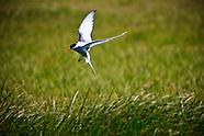 Artic Tern in Flatey