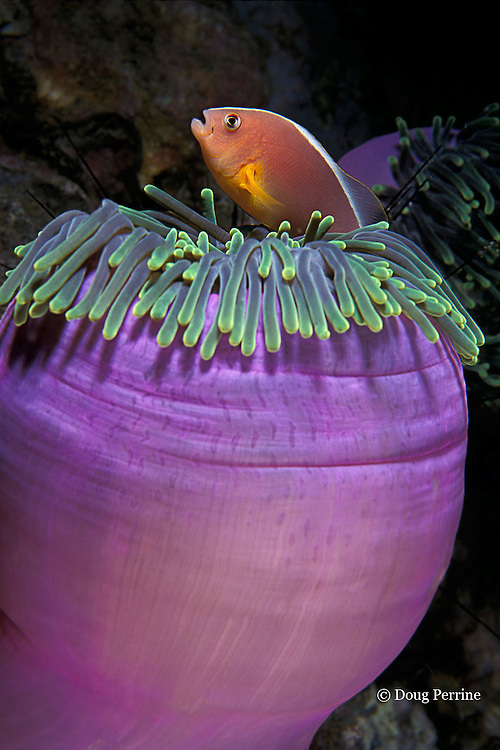 skunk anemonefish, Amphiprion akallopisos, in magnificent sea anemone, Heteractis magnifica, Anemone Rock, Phuket, Thailand ( Andaman Sea, Indian Ocean )