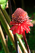 Torch Ginger, Hilo, Island of Hawaii