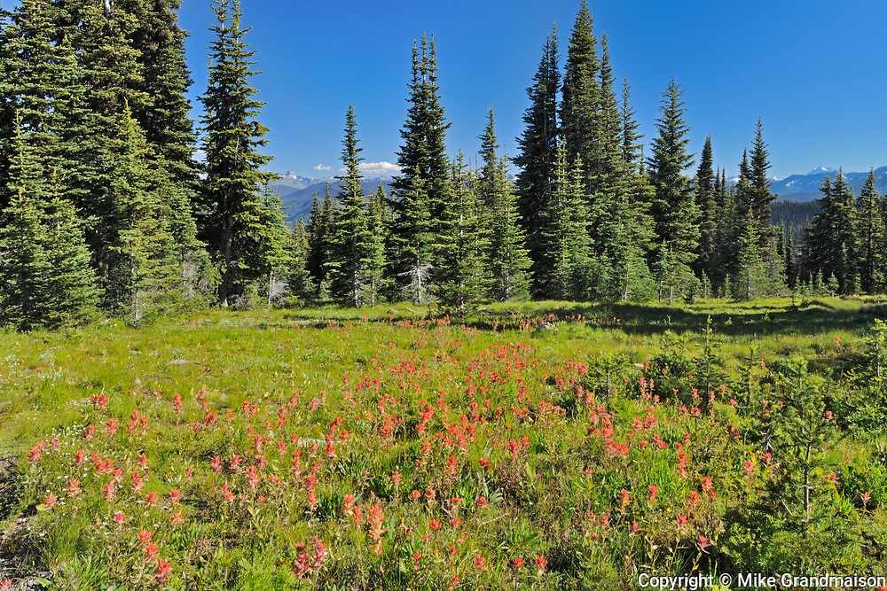 alpine meadow of wildflowers (Indian paintbrush). Cascade Mountains, E.C. Manning Provincial Park, British Columbia, Canada
