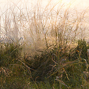 Landscape photograph, foggy multiple exposure of grasses along the river.