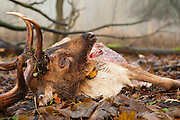 Dead fallow deer (Dama dama). Amsterdamse waterleidingduinen, The Netherlands. November 2012.