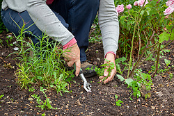 Weeding a border with a hand fork