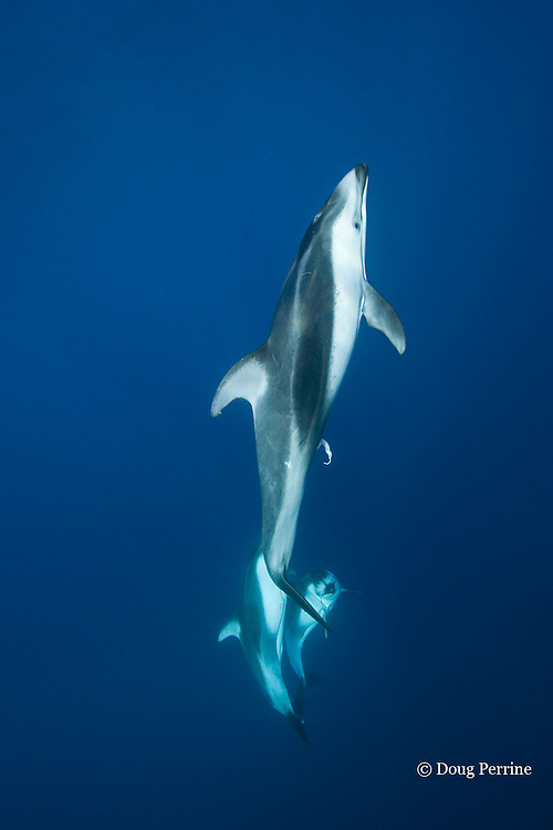 Pacific white-sided dolphins, Lagenorhynchus obliquidens<br /> off San Diego, California, U.S.A. ( Eastern Pacific Ocean ); dolphin at top has penis extended