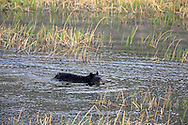 Black bear adult swimming and running in habitat