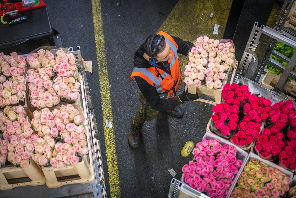 A worker in the warehouse at the worlds largest flower auction, Royal Flora Holland moves a cart full of roses. Amsterdam, Netherlands