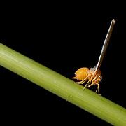derbidae sp. planthopper nymph