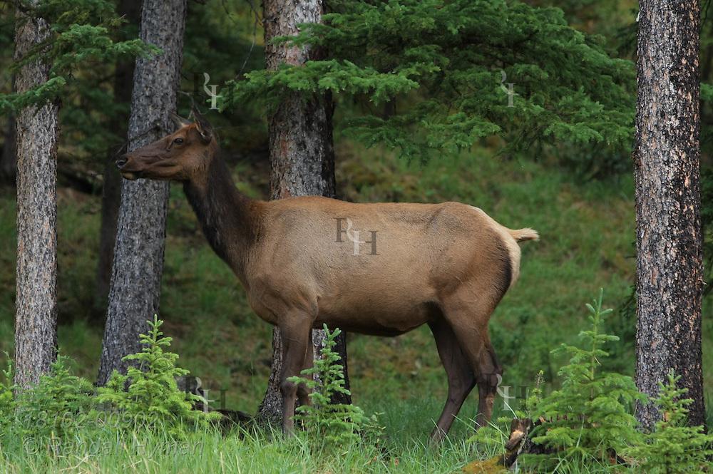 Female elk, or wapiti (Cervus canadensis), grazes in woodland pasture in Banff National Park; Alberta, Canada.