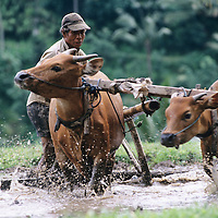 Bali, Indonesia, farmer ploughing rice field behind plough and water buffalo
