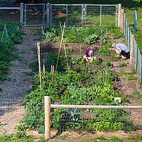 Gardeners working in an urban community vegetable garden.