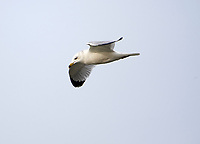 Ring-billed Gull (Larus delawarensis) in flight above Lake Chapala, Chapala, Jocotopec, Jalisco, Mexico