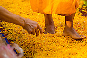 26 JANUARY 2013 - BANGKOK, THAILAND:  The feet of a Buddhist monk walks through a carpet of marigolds during a mass pilgrimage through Bangkok Saturday. 1,128 Buddhist monks from the Dhammakaya movement took part in a 25-day pilgrimage walk passing through Bangkok and several provinces in central Thailand, as part of a voluntarily undertaking of ascetic practices. The pilgrimage is scheduled to end Sunday, January 27 at Wat Phra Dhammakaya near Bangkok. Along the way Thai Buddhists laid marigolds along their path and greeted them for merit making. The Dhammakaya is the fastest growing Buddhist movement in Thailand. The pilgrimage is reported to be the largest pilgrimage in Thailand and organizers hope to get it placed in the Guiness World Records book.     PHOTO BY JACK KURTZ
