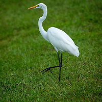 Great Egret Cull