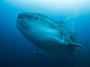 Whale sharks are the largest of all the sharks, and all fish. Growing up to 20 m length, they are  one of the largest animals to have ever lived. Panasonic GX1 camera, Panasonic 8 mm fisheye lens, Nauticam underwater housing. f/3.5, 1/160 sec, ISO 800.