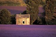 Lavender fields, Bayonne, Drome-Provencale, France