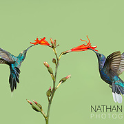 Green-crowned Brilliant  and Green Hermit Hummingbirds feeding on flowers;  Costa Rica .