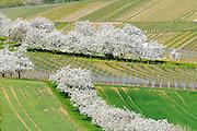 Kirschblüte bei Frauenstein, Wiesbaden, Hessen, Deutschland | flowering cherry trees near Frauenstein, Wiesbaden, Hesse, Germany